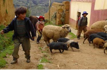 Pecore-Shunqui-viaggio-peru